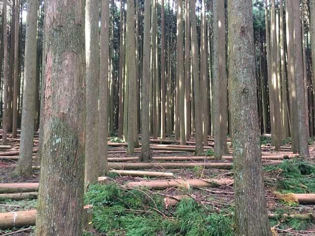 田貫湖キャンプ場 杉林