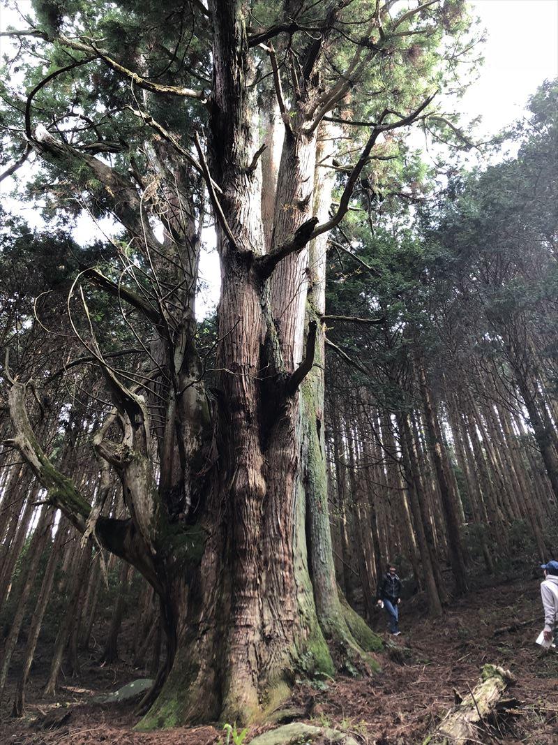 沼津市市民の森 フランケンシュタインの恋ロケ地の大杉02