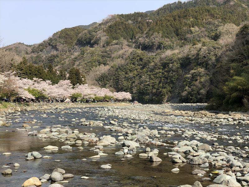 青野原オートキャンプ場 道志川から見た桜並木
